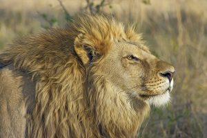 Blog językowy - blog o nauce angielskiego - porównania idiomatyczne - lion