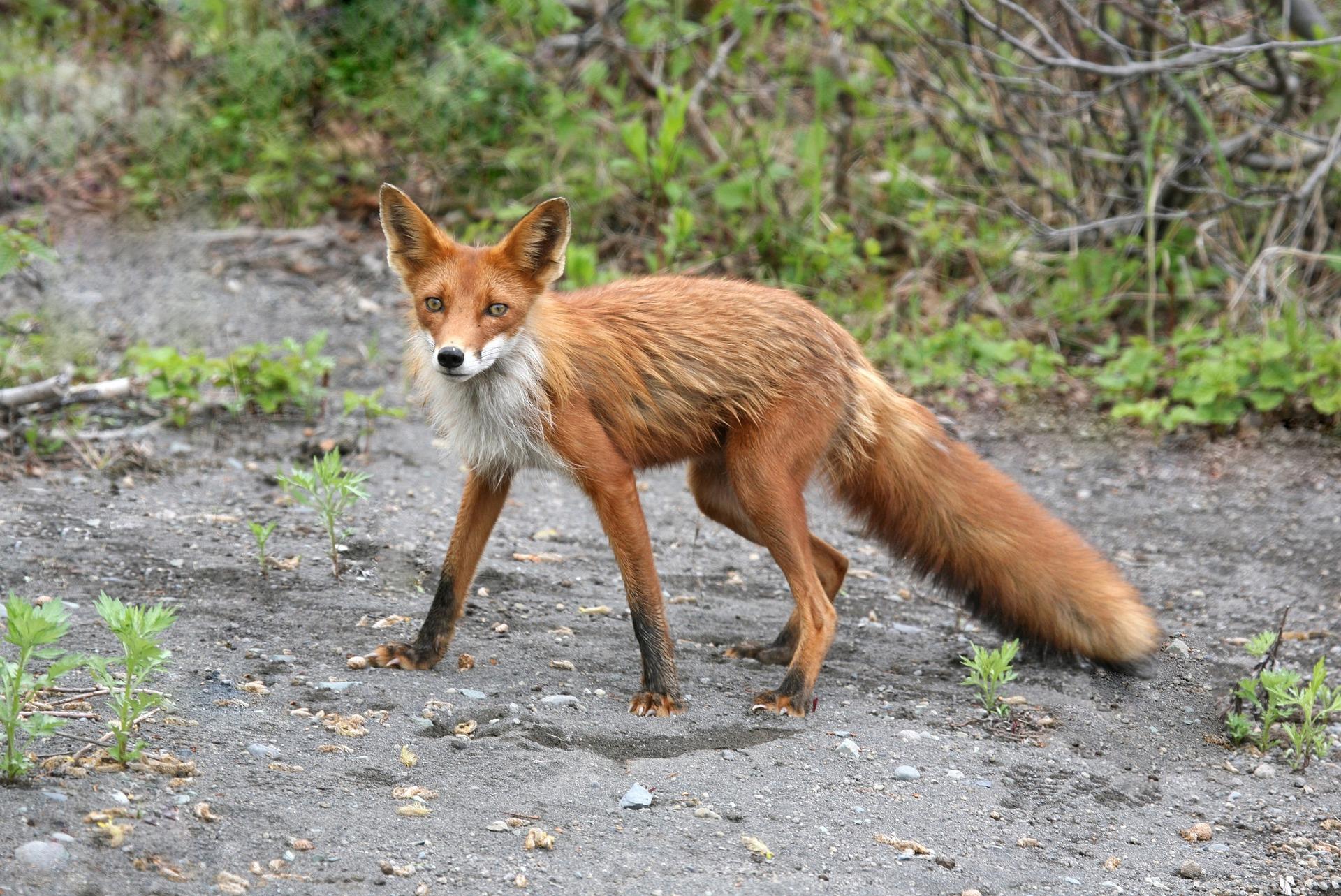 Blog językowy - blog o nauce angielskiego - porównania idiomatyczne - fox