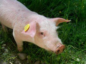Blog językowy - blog o nauce angielskiego - porównania idiomatyczne - pig