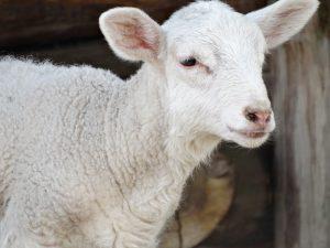 Blog językowy - blog o nauce angielskiego - porównania idiomatyczne - lamb