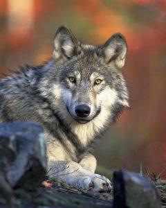 Blog językowy - blog o nauce angielskiego - porównania idiomatyczne - wolf