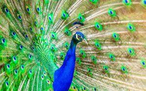 Blog językowy - blog o nauce angielskiego - porównania idiomatyczne - peacock